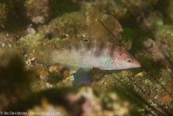 BD-160103-Malapasqua-2124-Coris-batuensis-(Bleeker.-1856)-[Batu-coris].jpg